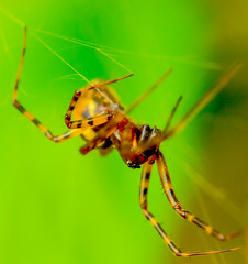 Hang on there (samuel.t18) Tags: nature hanging spring web spider macro insect
