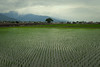 rizière l'après-midi (8pl) Tags: rizière campagne taïwan vert eau culture agriculture