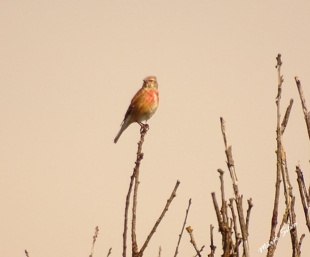 Águas Frias (Chaves) - ... ave descansando na extremidade de fimo ramo ...