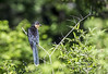 Jacobin Cuckoo (Sheldrickfalls) Tags: jacobincuckoo clamatorjacobinus piedcuckoo piedcrestedcuckoo cuckoo makuleke makulekeconcession krugernationalpark kruger krugerpark limpopo southafrica