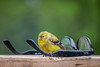 ray ban man (jimmy_racoon) Tags: 70200 f4l is canon 5d mk2 bird finch goldfinch nature 70200f4lis canon5dmk2