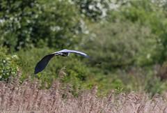 9Q6A3579 (2) (Alinbidford) Tags: alancurtis alinbidford brandonmarsh greyheron nature wildbirds wildlife