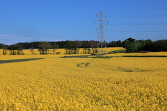 A little yellow (Troonafish) Tags: canola oilseedrape oilseedrapefield field fields farming agriculture yellow crop crops pylon pylons electricitypylon bluesky blueskies summer summertime bloom inbloom blooming plant plants plantlife beautifulweather sun sunshine sunnyday sunny scotland banffshire aberdeenshire portsoy scottish scottishfarming landscape landscapephotography landscapes scenery countryside scottishlandscape scottishscenery scottishcountryside gavintroon gavtroon 2018 canon canon5d2 canon5dii canon5dmark2 canon5dmarkii 5d2 5dii 5dmark2 5dmarkii morayfirth