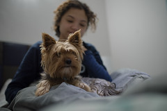 Good morning (Rushay) Tags: animal bed browndog canine dog pet portelizabeth southafrica woman yorkie