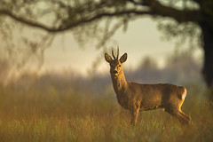 Roe buck in golden hour (adambotond) Tags: roedeer deer europeanroedeer buck magyarország mammal animal outdoor ruminant hungary europe eos adambotond wildlife wild wildlifephotography wilderness wildanimal nature naturephotography goldenhour canon canoneos1dx canonef400f4doisiiusm canonefextender2xiii capreoluscapreolus capreolus tree