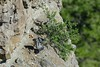 Trading places (ChicagoBob46) Tags: peregrinefalcon falcon bird yellowstone yellowstonenationalpark nature wildlife coth coth5