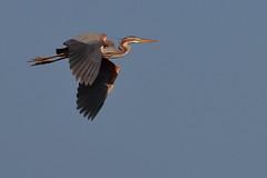 Airone rosso (areda purpurea) (Paolo Bertini) Tags: verona birdawatching birding bird ronco adige cave ardea purpurea red heron airone rosso volo flight