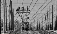 Wiring the sky (ramerk_de) Tags: hops hopsgarden hopfenfeld hallertau botany holledau bw bavaria hopfen