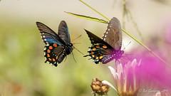 Pipevine Swallowtails (Bob Gunderson) Tags: botanicalgardens butterflies california goldengatepark insects northerncalifornia pipevineswallowtail sanfrancisco wildlife