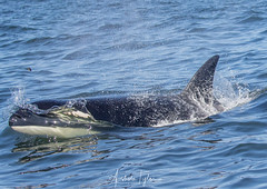 _A2I3177 (Ashala Tylor Images) Tags: orca killerwhale montereybay monterey mammal ocean black white