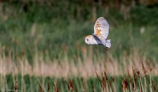 Summer Barn Owl