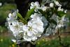 Fleurs de mirabellier . (mousse.annick) Tags: fleurs blanche blanc mirabellier macro