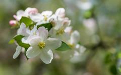 apple blossoms (05) (Vlado Ferenčić) Tags: appleblossoms flowers closeup closeupmacro vladimirferencic macro vladoferencic croatia hrvatska zagorje hrvatskozagorje klenovnik nikond600 tamron9028 spring