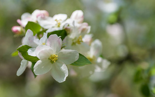 apple blossoms (05)