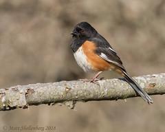 Eastern Towhee (Matt Shellenberg) Tags: eastern towhee easterntowhee sparrow illinois nature matt shellenberg