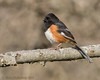 Eastern Towhee (Matt Shellenberg) Tags: eastern towhee easterntowhee sparrow illinois nature matt shellenberg