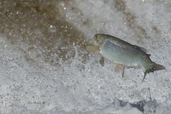 BOWMANVILLE CREEK RAINBOW (Alex Borbely) Tags: rainbowtrout steelhead trout fish gamefish alexborbely d4