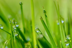 Blue and green go ok I think (AngharadW) Tags: outdoor water droplets angharadw 7dwf macro grass blueandgreen