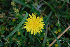Dandelion. (dccradio) Tags: lumberton nc northcarolina robesoncounty outside outdoors nature natural nikon d40 dslr grass lawn greenery yard dandelion flower floral green yellow weed weeds