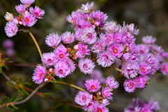 Verticordia fimbrilepis subsp. fimbrilepis (jeans_Photos) Tags: westernaustralia wandoonationalpark york verticordia verticordiafimbrilepis