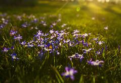 Glory (Matt Champlin) Tags: spring springtime beautiful life nature landscape flower sun sunset gorgeous light bokeh calm peaceful green growth gloryofthesnow blue canon 2018