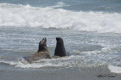 I Won't Back Down_MG_3931 (Alfred J. Lockwood Photography) Tags: alfredjlockwood nature wildlife mammal elephantseal pacificocean pacificcoast cambria californiacoast waves summer noon