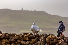 Keeping watch (kurjuz) Tags: gozo malta talġurdanlighthouse pigeons stone terracedfields wall żebbuġ