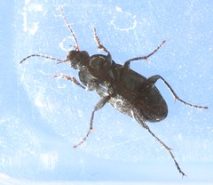 Poecilus versicolor (or cupreus)  carabidae (BSCG (Badenoch and Strathspey Conservation Group)) Tags: acm insect beetle col coleoptera carabidae