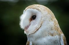 Barn Owl (Tyto alba) (Wade Tregaskis) Tags: barnowl commonbarnowl tytoalba portrait