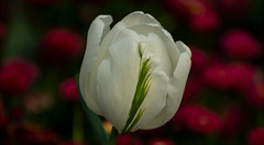 white tulip with a touch of green (izimmt) Tags: white green tulip tulips flower flowers macro macrophotography plant plants spring springtime