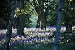 Evening bluebells, University of Kent, Canterbury campus, Spring 2018 (Jim_Higham) Tags: he higher education excellent teaching research european europe kent england uk park parkland lush green spring beautiful relaxing