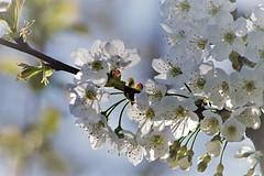 Cherry blossoms:) (eikeblogg) Tags: blossoms pentaxphotography spring details flowers cherrytree eifel ngc natureshots beautyofnature