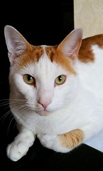 Looking at you! (Lindsaywhimsy) Tags: cat portrait indoors pet