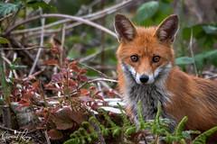Fox (geraintparry) Tags: south wales southwales nature geraint parry geraintparry wildlife cardiff forestfarm forest farm sigma sigma150600 150600 150600mm nikond500 d500 animal animals fox red redfox foxes grass green