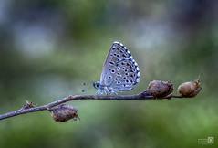 Princesa y fondo (JoseQ.) Tags: princesa fondo macro fotografia verde colores campo airelibre mariposa caminando macrofotografia insecto bicho animal olympus elvillar madrid sierra