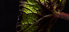 Low Key Begonia Leaf (Laurie4593) Tags: begonia macromondays lowkey blackbackground darkbackground green leaf veins back canonrebelt3i sigma70mmf28exdgmacro