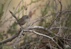 Wrentit 2 (brian.magnier) Tags: california san diego birds animals wildlife nature desert arid scrub habitat mission trails park