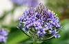 Scille du Pérou (Corinne Ménardi) Tags: fleur bleue plante bulbe liliaceae liliacées pinyablava