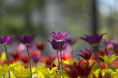 Tulpanfestival (Steffe) Tags: stival tulpaner tulips tulpanfestival tulipfestival flowers handen haninge sweden summer