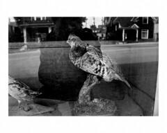 Taxidermist window #1 (Richard C. Johnson: AKA fishwrapcomix) Tags: nikonf3orleicam2 35mmor50mmlens film ilfordxp2 analog analogue scanfromnegative filmisnotdead iusedtoshootfilm istillshootfilm blackandwhite bw monochrome shopwindow selfie stuffedbirds dirt street taxidermist houses building ishootfilm archive