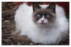 Il gatto non fa nulla, (Davide Ibiza) Tags: xe3 fujixe3 giliacquas gatti cat davidebaraldi fujifilm fotografando elmas inspiration fuji popularphoto fujifilmxe3 photooftheday sardegna lightroom occhialiverdi