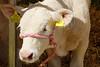Charolais Calf - Hadleigh Show 2018 (ho_hokus) Tags: 2018 england fujix20 fujifilmx20 hadleigh hadleighshow suffolk calf cow show charolais
