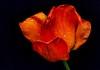 Après la pluie... / After the rain... (Pentax_clic) Tags: • vaudreuil 2018 kx warren pentax rain mai robert tulipes quebec imgp6633 drops pluie gouttes