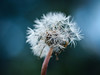 Löwenzahn (Werner Schnell Images (2.stream)) Tags: ws löwenzahn pusteblume dandelion