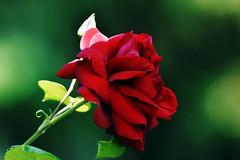 Rose (Michael Döring) Tags: gelsenkirchen buer bergersee schlossberge stillleben rose tc14eii afs200500mm56e d7200 michaeldöring