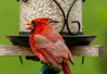 Cardinal Approved (114berg) Tags: 21may18 male adult northern cardinal safflower seed feeder geneseo illinois