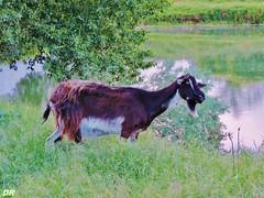 biquette ma voisine (danie _m_) Tags: naturepic goat animal water countryside greenery springtime lovenature beautiful nature eau verdure chèvre campagne printemps