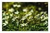 Buschwindröschen, Anemone (günter mengedoth) Tags: meyeroptik görlitz orestor 135 mm f 28 meyeroptikgörlitzorestor135mmf28 anemone windröschen buschwindröschen waldfrühling spring hell vintagelens vintage