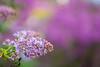 LILAS (María Bellet Fotografía) Tags: parque parquedelcapricho naturaleza lilas flor primavera