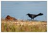 Move along! Move along! No sleeping on the beach! (JohnKuriyan) Tags: cinnamon teal greattailed grackle coyote hills regional park